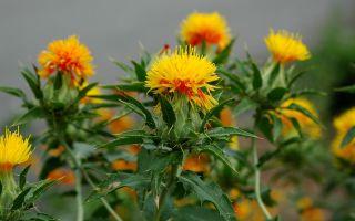 Дикий шафран (сафлор): чем полезен, применение семян растения, фото