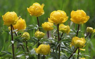 Купальница: лекарственное растение или нет, лечебные свойства