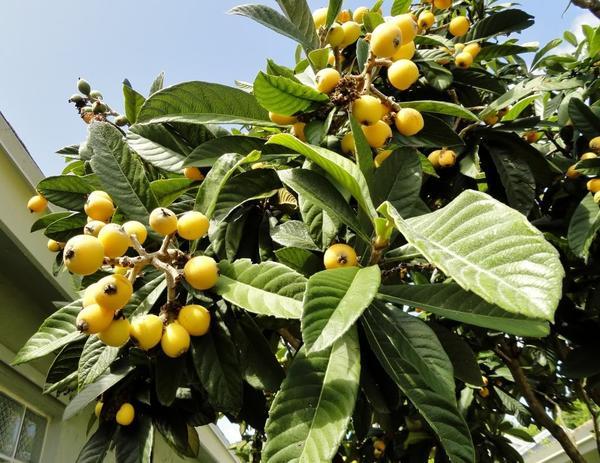 Полезные свойства листьев мушмулы