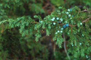 Плоды можжевельника: полезные свойства и противопоказания