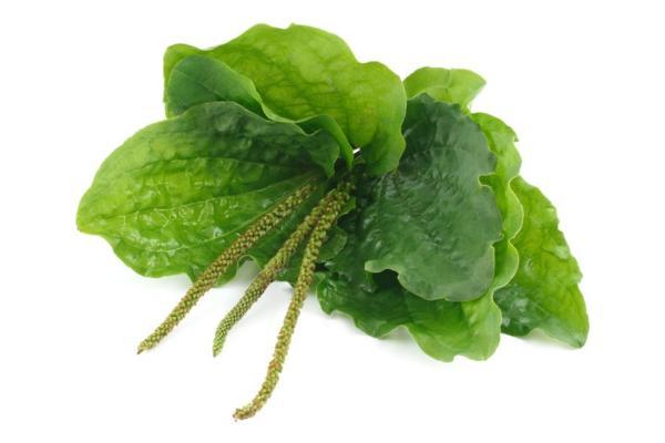 Чем полезна шелуха семян подорожника