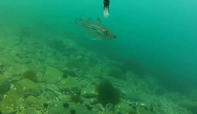 Минтай – польза и вред рыбы для организма