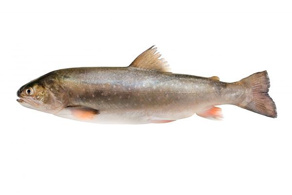 Красная рыба голец