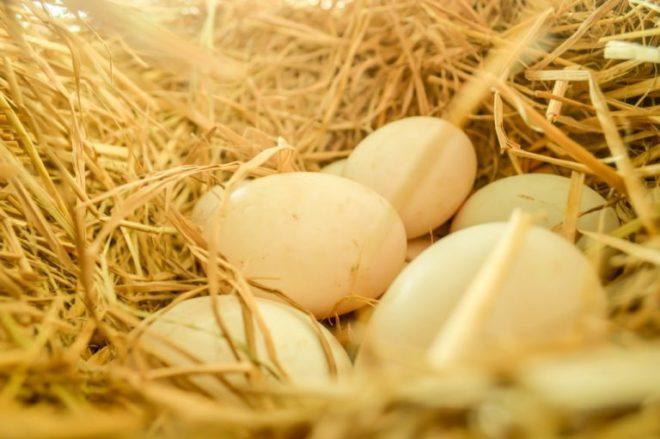 Как отличить утиное яйцо от куриного