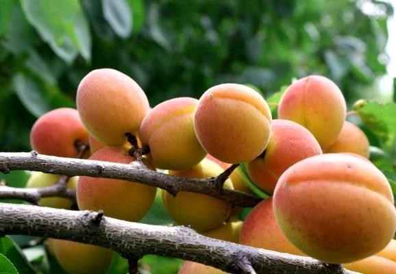 Абрикосы — польза и вред для организма