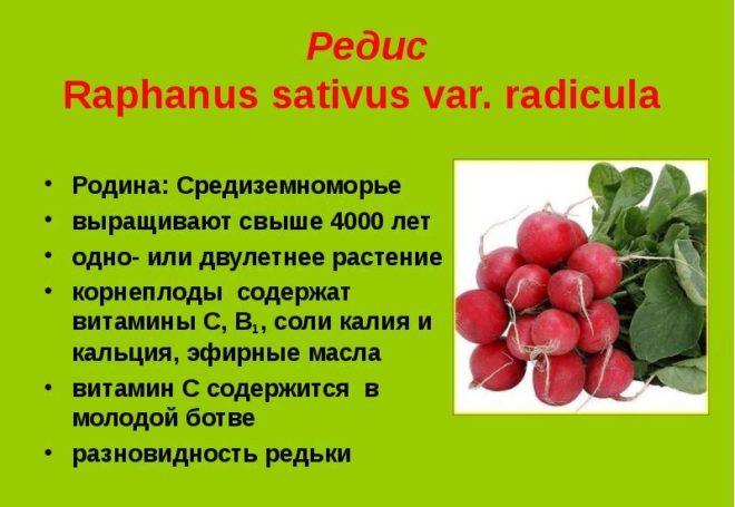 какие витамины содержит редиска