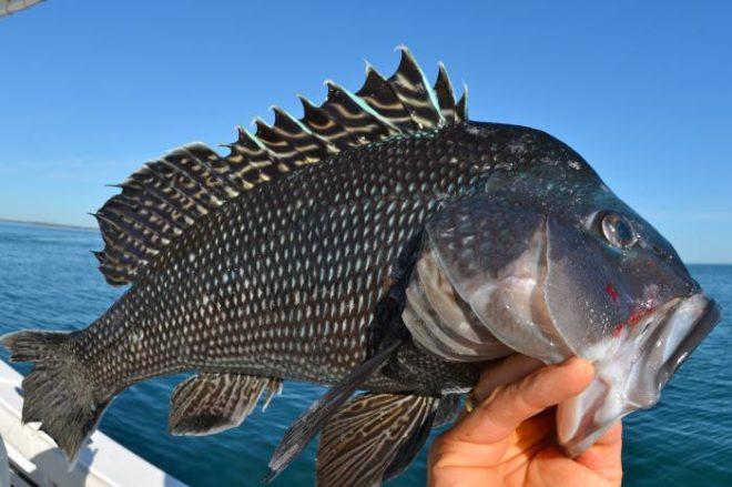 Рыба морской окунь