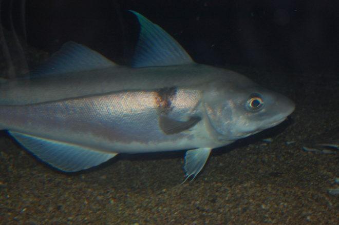 Рыба пикша особенности жизненного цикла