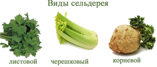 Польза сельдерея для женщин в сыром виде