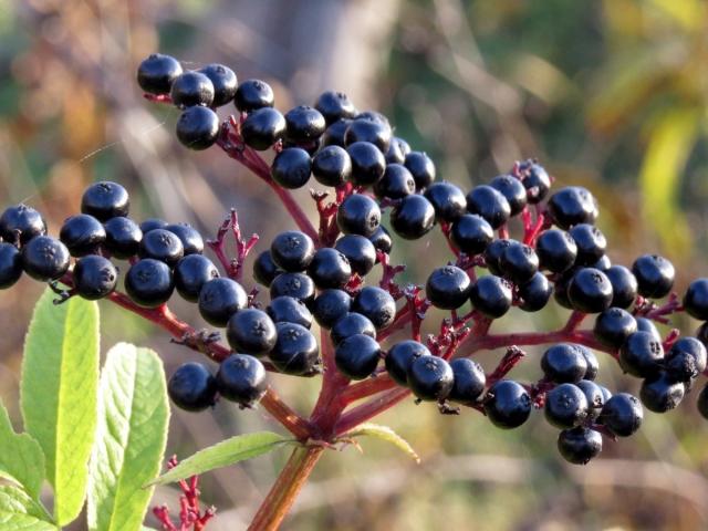 Цвет бузины полезные свойства и противопоказания, бузина полезные свойства цветки.
