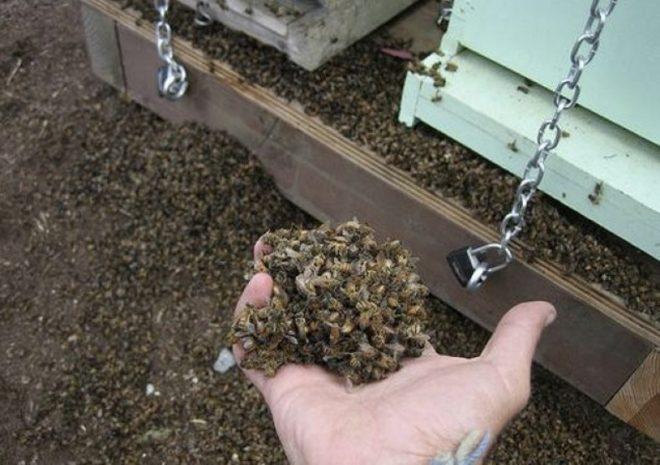 Настойка из пчелиного подмора: лечебные свойства, как принимать