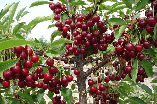 Полезные свойства вишни для человека и противопоказания
