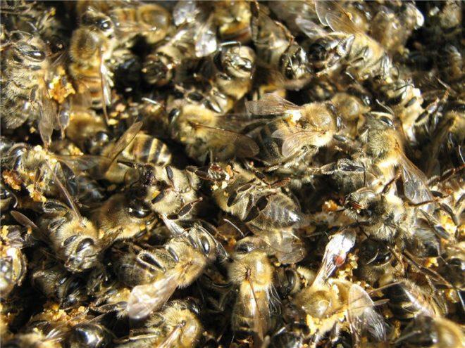 Как правильно использовать пчелиный подмор при онкологии?