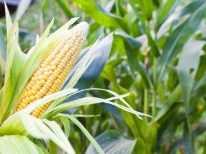 Чего больше в кукурузе для похудения вреда или пользы Советы по применению