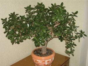 Денежное дерево какая от него польза