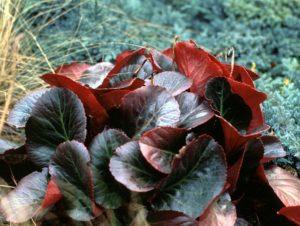 Бадан (фото цветов) - советы, секреты, рекомендации