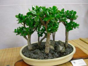 Денежное дерево — лечебные свойства и противопоказания