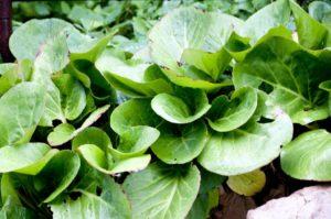 Бадан корень полезные свойства и противопоказания