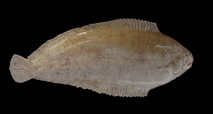 Где водится рыба морской язык