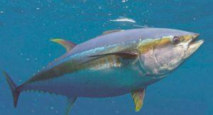 Тунец консервированный — польза и свойства дара моря. Может ли быть вред от консервированного тунца, как его правильно выбирать