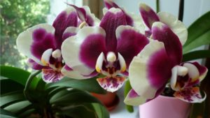 Корень орхидеи в магии - магические свойства и любовные ритуалы