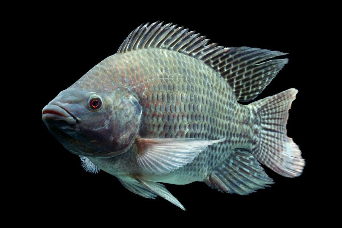 Тилапия мусорная рыба