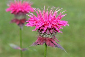 Бергамот трава - полезные свойства и противопоказания