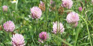Цветки клевера красного лечебные свойства