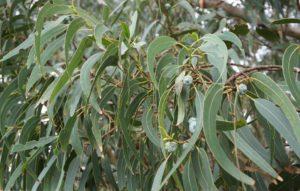 Лечебные свойства и противопоказания настойки эвкалипта