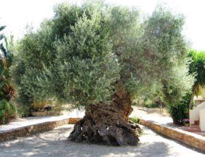 Польза и вред оливок для мужчин