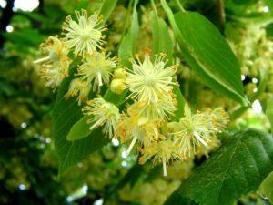 Цветы липы полезные свойства