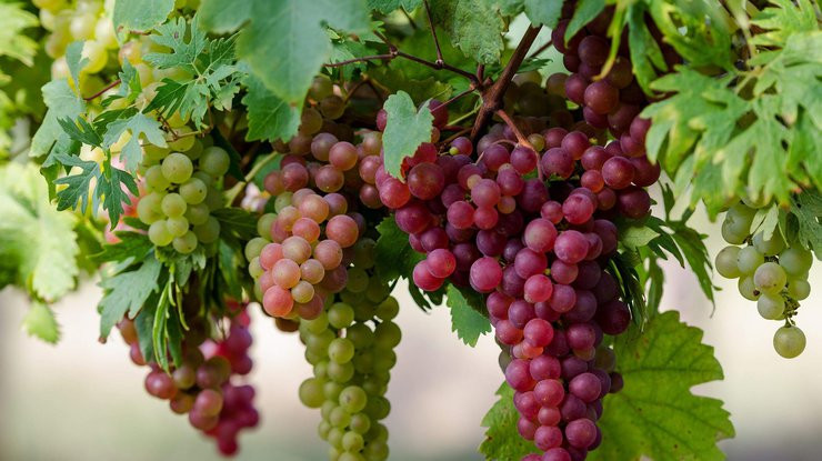 Польза и вред винограда для организма человека, калорийность, состав
