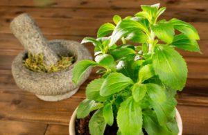 Стевия при сахарном диабете: польза и вред травы, ее свойства в лечении, применение и противопоказания для диабетиков