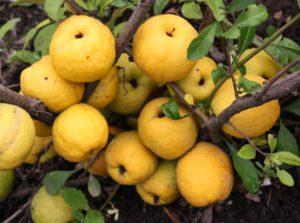 Японская айва кустарник — описание растения и плодов