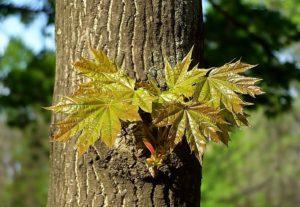 Полезные и лечебные свойства плодов, листьев и коры для организма человека