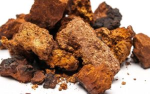 Гриб чага — полезные свойства, противопоказания, применение