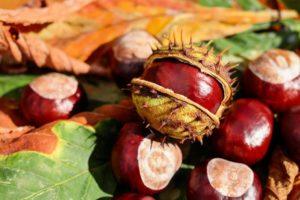Польза плодов каштана конского