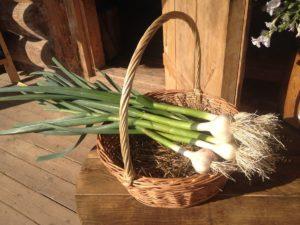 Польза перьев зеленого чеснока