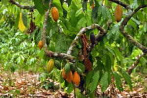 Какао свойства и полезность