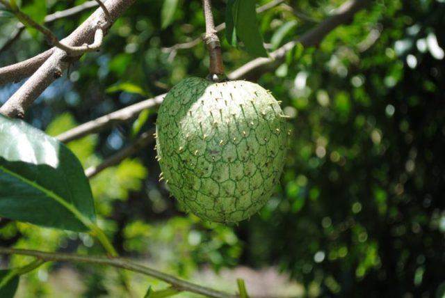 Гуанабана листья