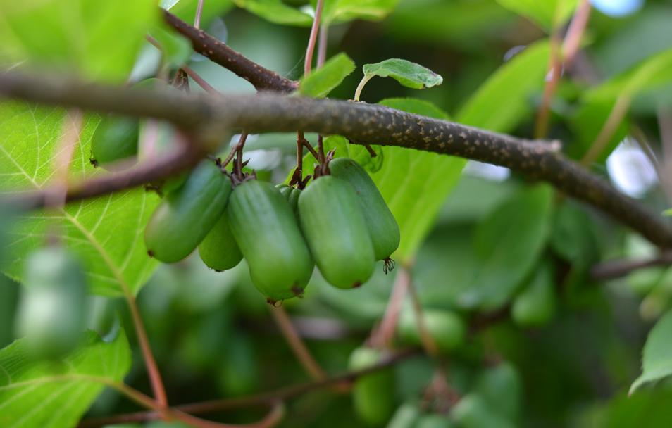 Актинидия содержание полезных веществ, польза и вред, свойства