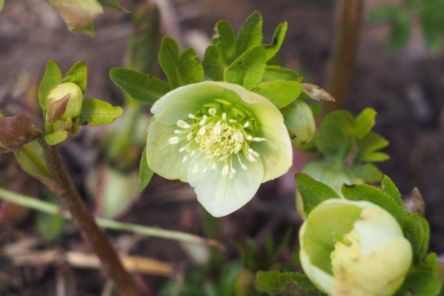 Морозник кавказский (трава) – полезные свойства и применение морозника, морозник для похудения, корень, цветы, лечение морозником