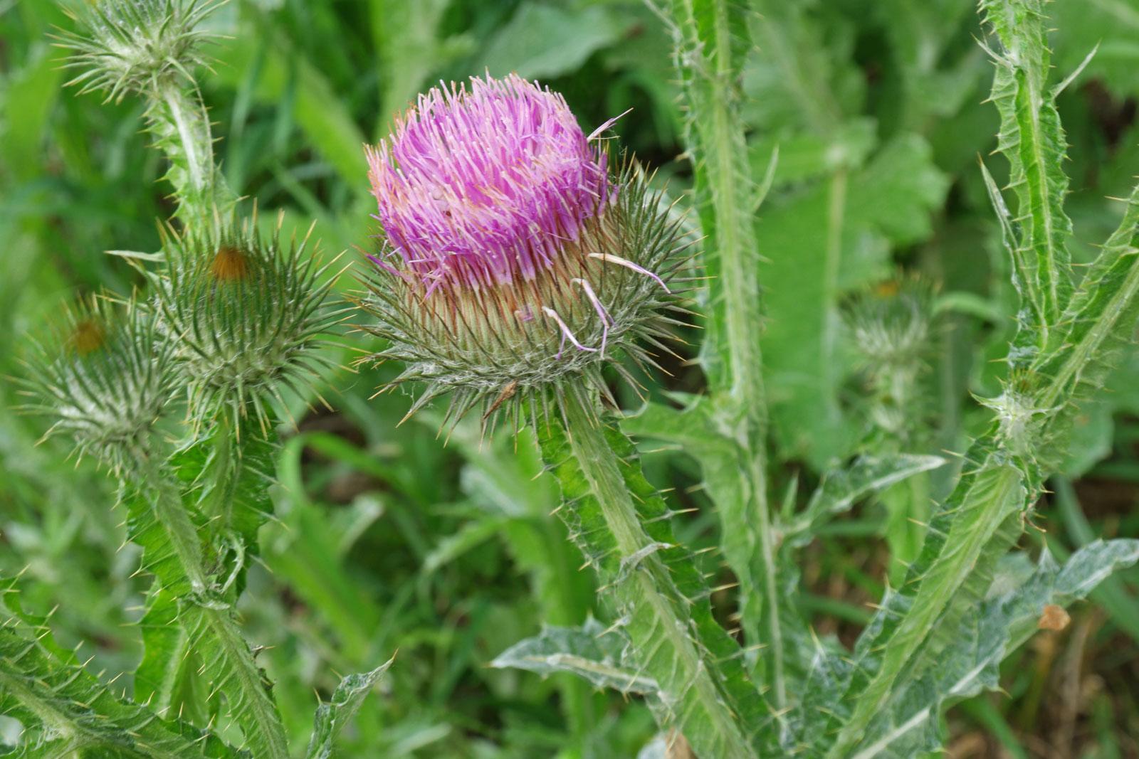 Трава татарник: лечебные свойства - узнайте всю правду в 1 статье