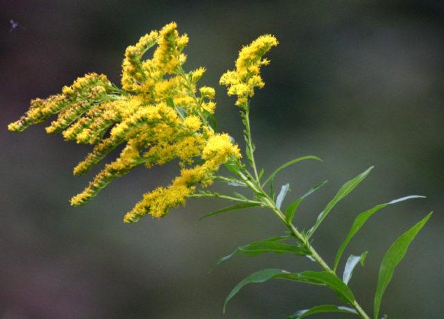 Золотая розга что за трава и противопоказания