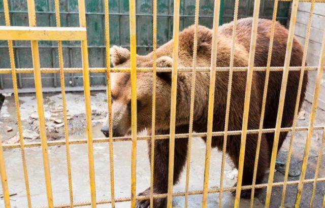 Что лечит желчь медведя