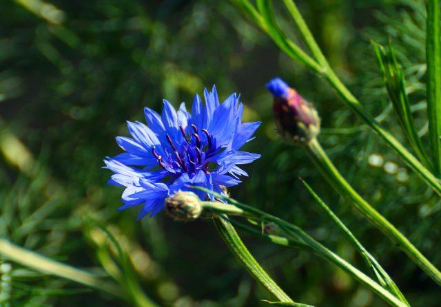 Василек Синий — описание и фото цветка