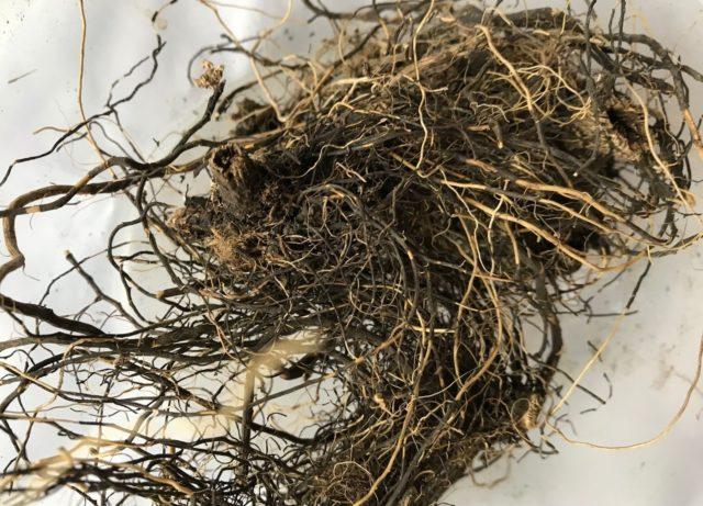 Фото маралий корень лечебные свойства и противопоказания