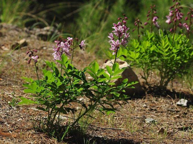 Выращиваем ясенец Неопалимая купина, особенности посадки, ухода